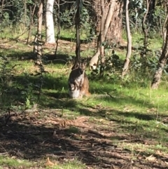 Macropus rufogriseus (Red-necked Wallaby) at Forde, ACT - 5 Oct 2021 by Ned_Johnston