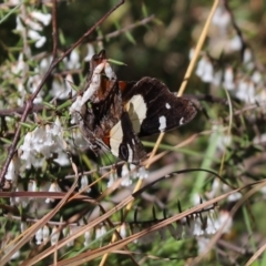 Vanessa itea (Yellow Admiral) at Rendezvous Creek, ACT - 6 Oct 2021 by Tammy