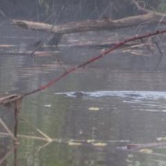 Ornithorhynchus anatinus (Platypus) at Pialligo, ACT - 7 Oct 2021 by MB