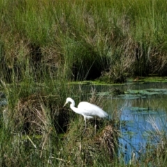 Ardea alba (Great Egret) at Monash, ACT - 7 Oct 2021 by MB