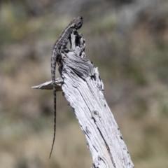 Amphibolurus muricatus (Jacky Lizard) at Mount Clear, ACT - 8 Oct 2021 by SWishart