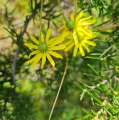 Senecio madagascariensis (Fireweed) at O'Malley, ACT - 8 Oct 2021 by Mike