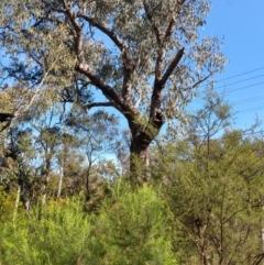 Eucalyptus bridgesiana (Apple Box) at Greenleigh, NSW - 8 Oct 2021 by LyndalT