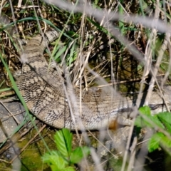 Tiliqua scincoides scincoides (Eastern Blue-tongue) at Holt, ACT - 8 Oct 2021 by Kurt