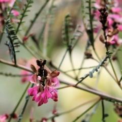 Indigofera adesmiifolia (Tick Indigo) at Glenroy, NSW - 27 Sep 2021 by KylieWaldon