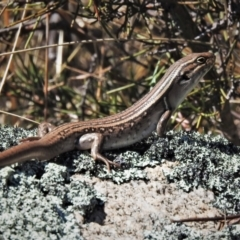 Liopholis whitii (White's Skink) at Mount Clear, ACT - 8 Oct 2021 by JohnBundock