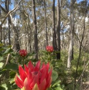 Telopea speciosissima at Kangaloon, NSW - 8 Oct 2021