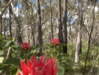 Telopea speciosissima (NSW Waratah) at Kangaloon, NSW - 8 Oct 2021 by JanetMW