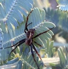 Araneinae (subfamily) (Orb weaver) at Jerrabomberra, NSW - 8 Oct 2021 by Steve_Bok