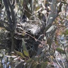 Gymnorhina tibicen (Australian Magpie) at Hawker, ACT - 8 Oct 2021 by AlisonMilton