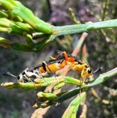 Zenarge turneri (Cypress pine sawfly) at Murrumbateman, NSW - 8 Oct 2021 by SimoneC