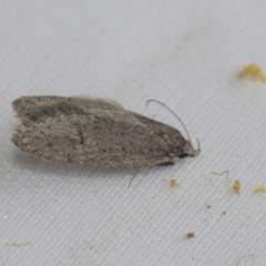 Chezala privatella (A Concealer moth) at Higgins, ACT - 3 Oct 2021 by AlisonMilton