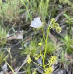 Drosera hookeri (Grassland Sundew, Pale Sundew) at Mount Majura - 8 Oct 2021 by JaneR