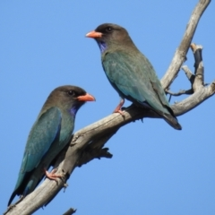 Eurystomus orientalis (Dollarbird) at Tuggeranong DC, ACT - 8 Oct 2021 by HelenCross