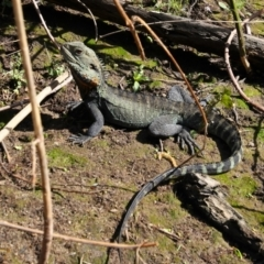 Intellagama lesueurii howittii (Gippsland Water Dragon) at Fyshwick, ACT - 8 Oct 2021 by MB