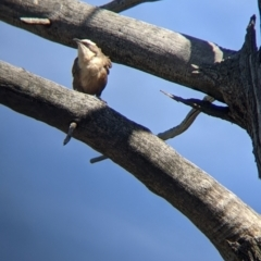 Pomatostomus temporalis (Grey-crowned Babbler) at Fargunyah, NSW - 8 Oct 2021 by Darcy