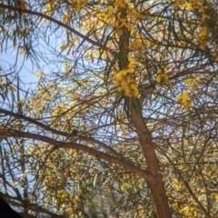 Rhipidura albiscapa (Grey Fantail) at Fargunyah, NSW - 8 Oct 2021 by Darcy
