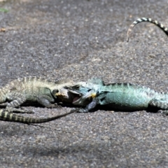 Intellagama lesueurii howittii (Gippsland Water Dragon) at Acton, ACT - 18 Feb 2021 by Chris Appleton
