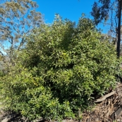 Olea europaea subsp. cuspidata (African Olive) at Jerrabomberra, ACT - 9 Oct 2021 by Mike