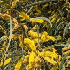 Acacia doratoxylon (Currawang) at Fargunyah, NSW - 8 Oct 2021 by Darcy