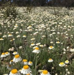 Leucochrysum albicans subsp. tricolor (Hoary Sunray) at Mount Majura - 8 Oct 2021 by RWPurdie