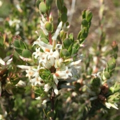 Brachyloma daphnoides (Daphne Heath) at Mount Majura - 8 Oct 2021 by RWPurdie