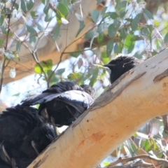 Corcorax melanorhamphos (White-winged Chough) at Greenleigh, NSW - 8 Oct 2021 by LyndalT