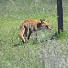Vulpes vulpes (Red Fox) at Molonglo Valley, ACT - 9 Oct 2021 by wombey