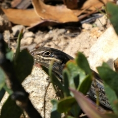 Liopholis whitii (White's Skink) at Cotter River, ACT - 8 Oct 2021 by HarveyPerkins