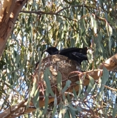 Corcorax melanorhamphos (White-winged Chough) at Molonglo Valley, ACT - 9 Oct 2021 by LSalmon