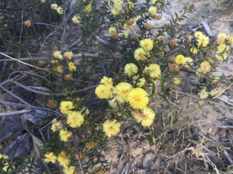 Acacia gunnii at Penrose, NSW - 12 Sep 2021