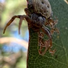 Cymbacha ocellata (Crab spider) at Murrumbateman, NSW - 8 Oct 2021 by SimoneC