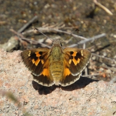 Trapezites phigalia (Heath Ochre) at Kambah, ACT - 9 Oct 2021 by MatthewFrawley