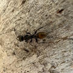 Myrmecia piliventris (Golden tail bull ant) at Murrumbateman, NSW - 9 Oct 2021 by SimoneC