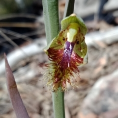 Calochilus montanus (Copper beard orchid) at Watson, ACT - 8 Oct 2021 by Lou