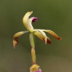 Caladenia testacea at suppressed - 9 Oct 2021