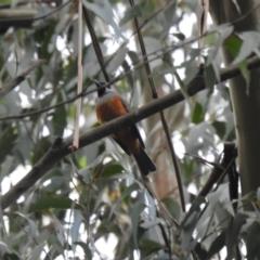 Monarcha melanopsis (Black-faced Monarch) at Farringdon, NSW - 9 Oct 2021 by Liam.m