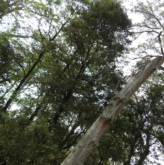 Unidentified Other Tree (TBC) at Harolds Cross, NSW - 9 Oct 2021 by Liam.m