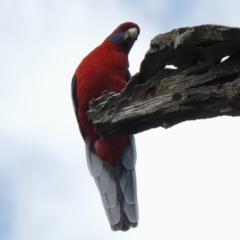 Platycercus elegans (Crimson Rosella) at Cook, ACT - 9 Oct 2021 by KMcCue