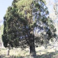 Callitris endlicheri (Black Cypress Pine) at Mount Majura - 7 Oct 2021 by Sarah2019