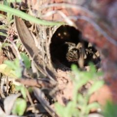 Tasmanicosa sp. (genus) (Unidentified Tasmanicosa wolf spider) at Mount Majura - 7 Oct 2021 by Sarah2019