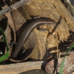 Lampropholis delicata (Delicate Skink) at Watson, ACT - 9 Oct 2021 by Christine