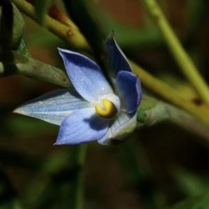 Thelymitra pauciflora at suppressed - 10 Oct 2021