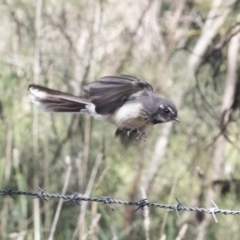 Rhipidura albiscapa (Grey Fantail) at Hawker, ACT - 3 Oct 2021 by AlisonMilton