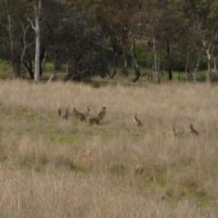 Macropus giganteus (Eastern Grey Kangaroo) at Latham, ACT - 9 Oct 2021 by pinnaCLE