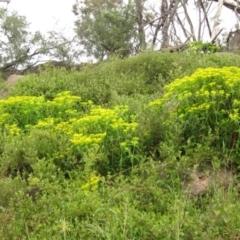 Euphorbia oblongata (Egg-leaf Spurge) at Latham, ACT - 9 Oct 2021 by pinnaCLE