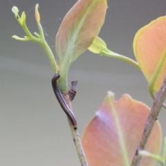 Unidentified Millipede (Diplopoda) (TBC) at Wodonga, VIC - 9 Oct 2021 by KylieWaldon
