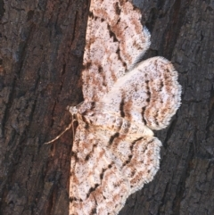 Didymoctenia exsuperata (Didymoctenia exsuperata) at Paddys River, ACT - 9 Oct 2021 by Ned_Johnston