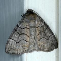 Dysbatus sp. (Dysbatus sp.) at Ainslie, ACT - 9 Oct 2021 by jbromilow50