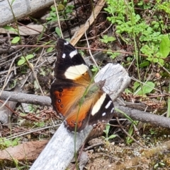 Vanessa itea (Yellow Admiral) at Stromlo, ACT - 10 Oct 2021 by RobG1